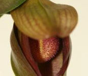 Bulbophyllum_laxiflorum